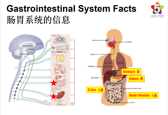 Gastrointestinal System Facts